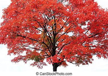 arbre, érable rouge