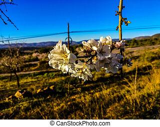 arbre, amande, fleur, entiers
