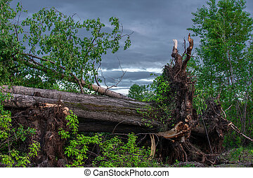arbre, après, ouragan, grand, baissé, racines