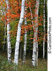 arbre aspen, coloré, bouleau