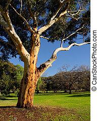 arbre, australien, vieux, eucalyt, gracieux