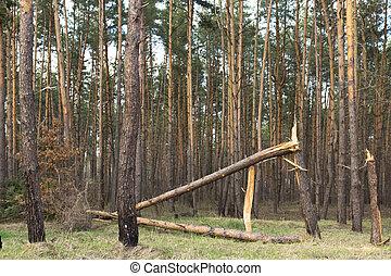 arbre, baissé, ouragan, forêt, pin