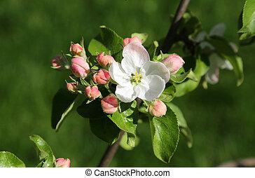 arbre, beau, printemps, pomme, délicat, fleurs, branche