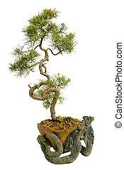 arbre bonzaies, fond, isolé, japonaise, blanc
