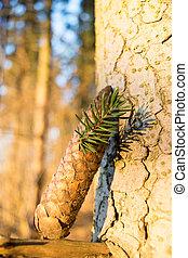 arbre, cônes, pin