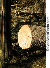 arbre cassé, désastre, vent