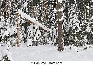 arbre cassé, forêt, hiver