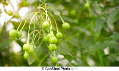 arbre, cerises, branches, jardin, vert