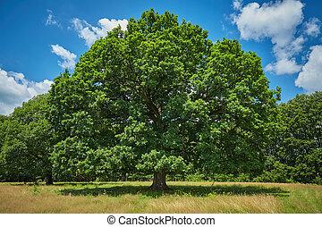 arbre, chêne, centenaire