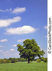 arbre chêne, champ