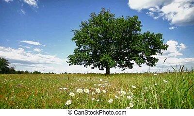 arbre chêne, pré