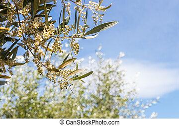 arbre, ciel, isolé, contre, bleu fleurit, branche, fleur, olive