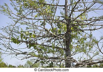cypr s chauve racines expos cypr s chauve arbre photo de stock rechercher. Black Bedroom Furniture Sets. Home Design Ideas