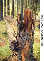 arbre déraciné, après, ouragan, forêt, orage, ou