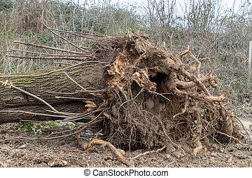 arbre déraciné