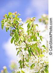 arbre diverge, pomme, fleurir