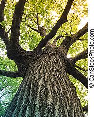 arbre, feuilles, chêne, lumière soleil, vert, venir, par