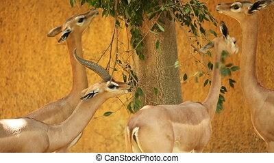 arbre, feuilles, gazelles, fermé, manger