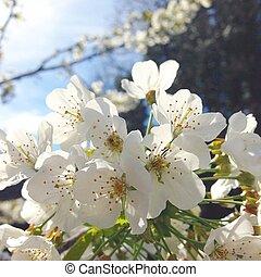 rose bleu entiers fleur cerisier fleurs ciel bleu photos de stock rechercher des. Black Bedroom Furniture Sets. Home Design Ideas