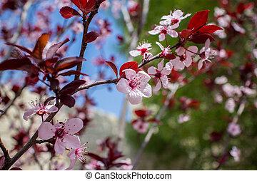 arbre, fleurs, amande, fleur