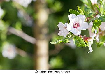 arbre, fleurs, cerise, printemps