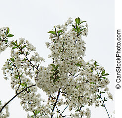 arbre, fleurs, fleur, pomme, printemps