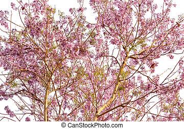 arbre, fleurs, fleurir, printemps, rose