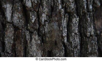 arbre grimpeur, dobsonfly