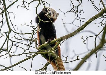 arbre grimpeur, panda, rouges