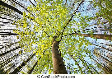 arbre hêtre, ensoleillé, forêt verte