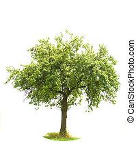 arbre, isolé, pomme