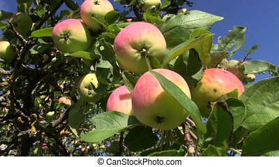 arbre, jardin, branche, pomme