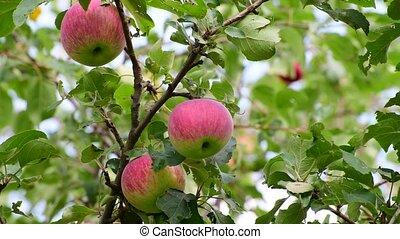 arbre, jardin, pommes