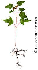 arbre, jeune, érable