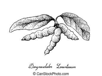 arbre, lomentaceum, main, dasymaschalon, fruits, dessiné, tas