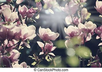 arbre magnolia, fleurs