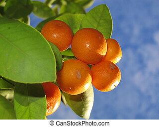 arbre, mandarines