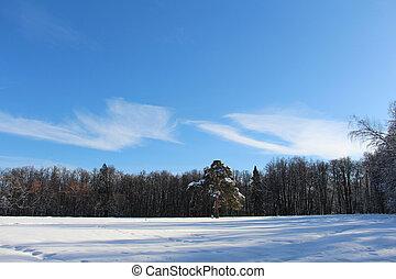 arbre, neigeux, solitaire, pin, forest., milieu