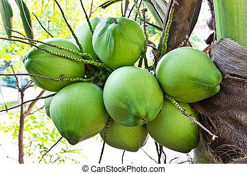 arbre noix coco