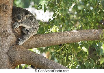 arbre., ours koala, dormir