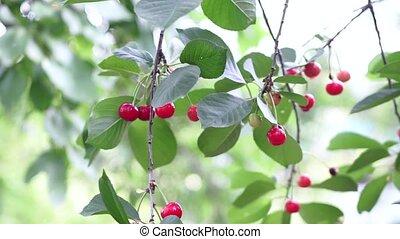 arbre, paire, cerise, wind., branches, rouges, horticulture., savoureux, branche, gros plan, cerises, fruit