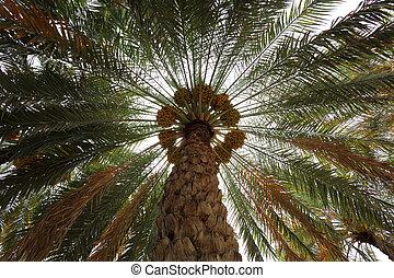 arbre palmier dattier