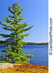 arbre pin, à, rivage lac