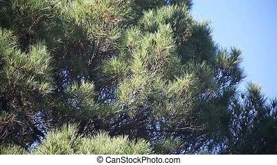 arbre, pin