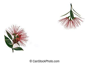 arbre, pohutukawa, fond, fleurs blanches, fleur, rouges