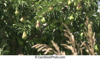 arbre, poires