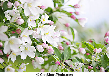 arbre, pomme, fleurir