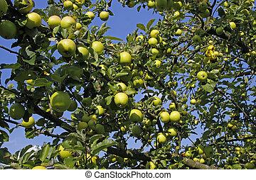 arbre, pomme verte, pommes