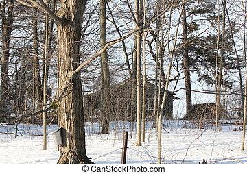 arbre, sève, seau, érable