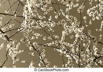 arbre, sépia, amande, tonalité, fleurs
